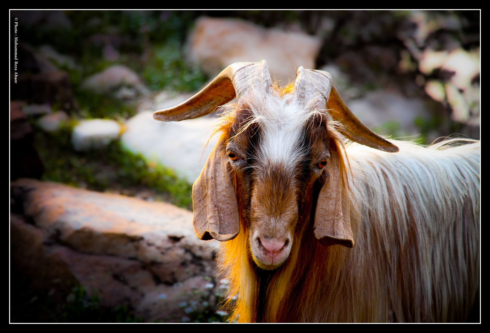 Photograph Shevi Goat by Mohammad Reza Abaee on 500px