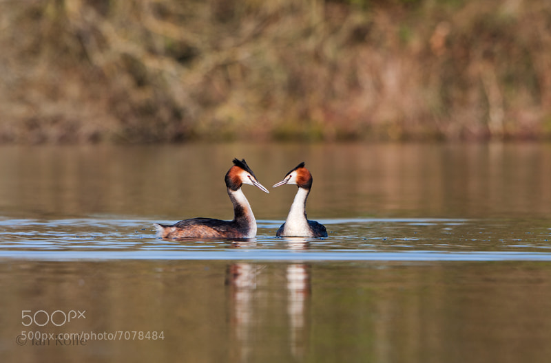 Photograph Great Crested Grebe courtship by Ian Rolfe on 500px