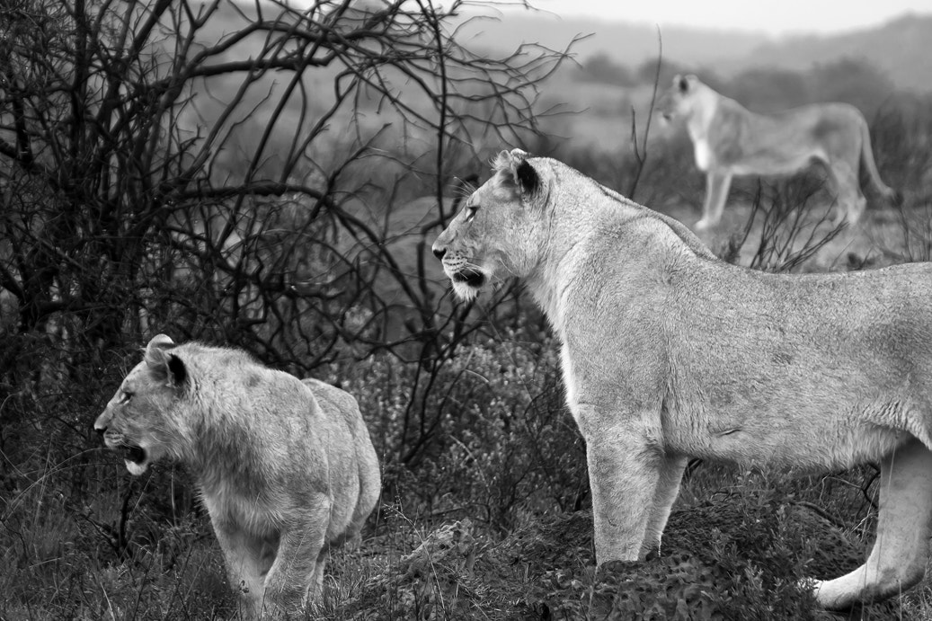 Photograph Three Lions by Ian Rolfe on 500px