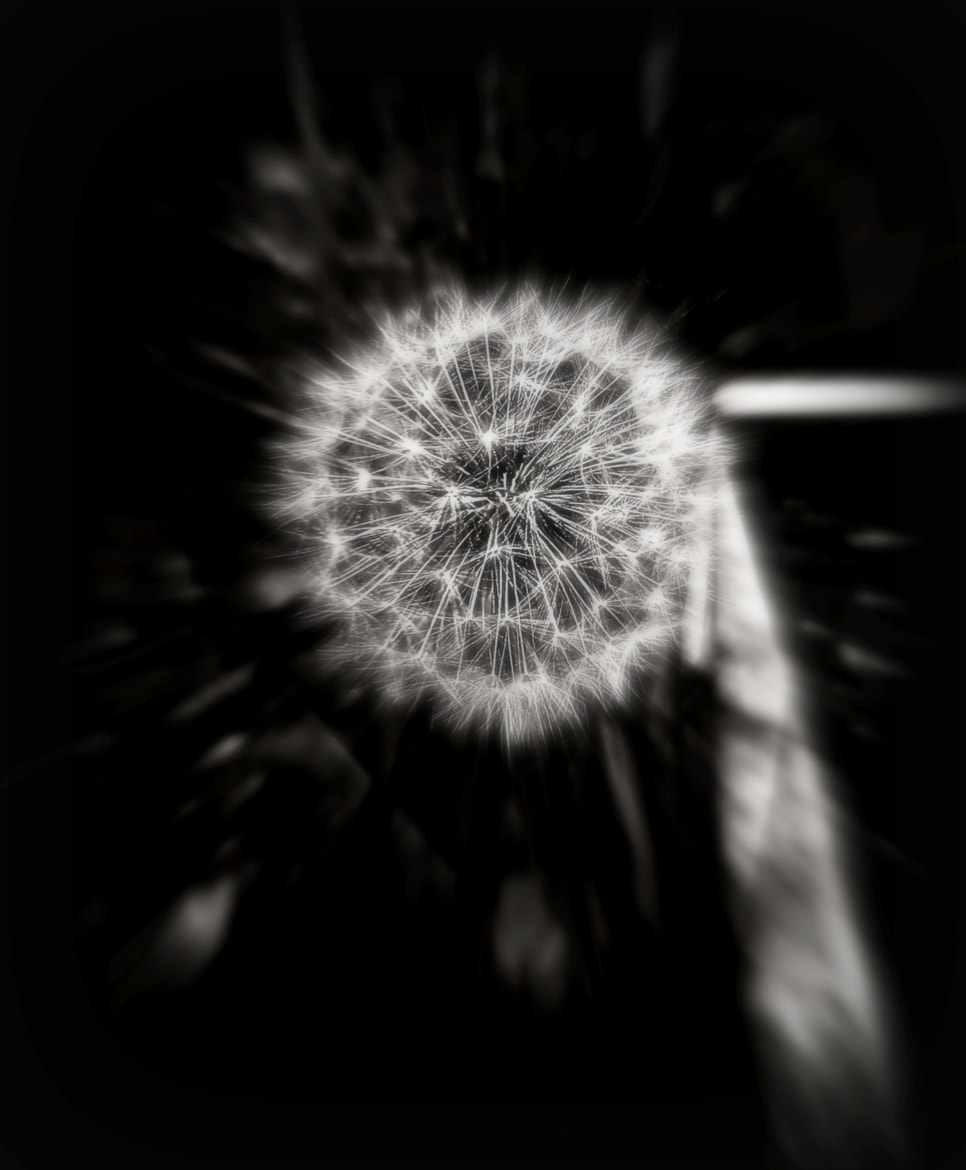 Photograph Fuzzy Dandelion by Yazmine Hawkins on 500px
