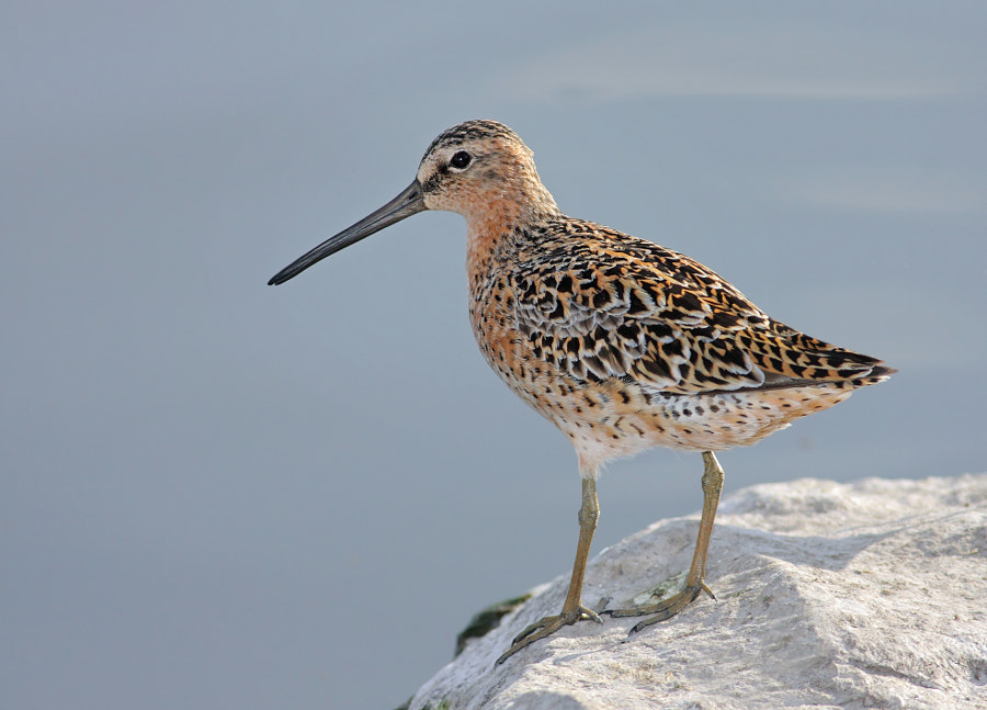 Long-billed Dowitcher by Terry Sohl on 500px.com