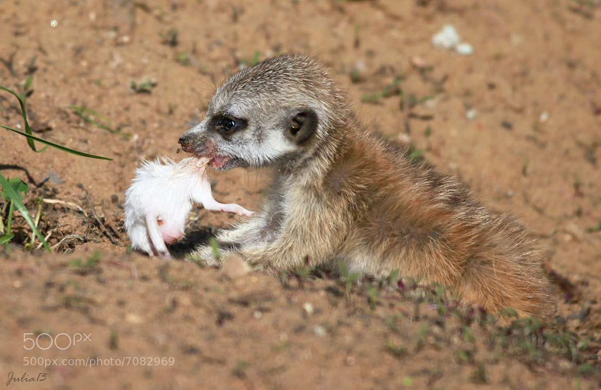 Photograph Young meerkat's lunch by Julia Soloviova on 500px