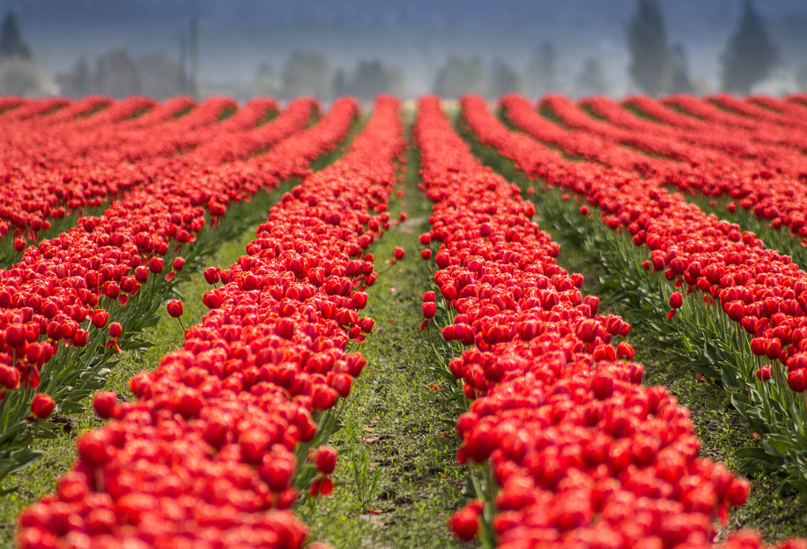 Tulips are Red by Aditya Mamtora on 500px