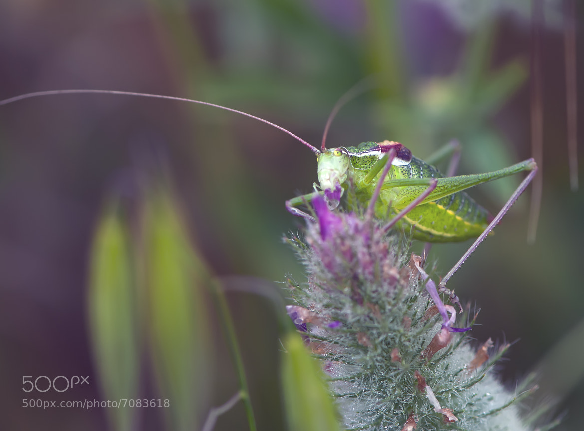 Photograph Grasshopper by Shimon Gabai on 500px
