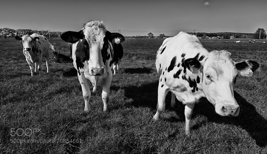 Close encounter of a cow kind
