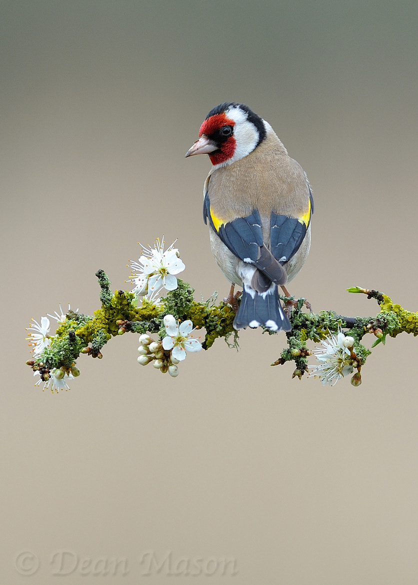 Photograph Goldfinch on Sloe Blossom by Dean Mason on 500px