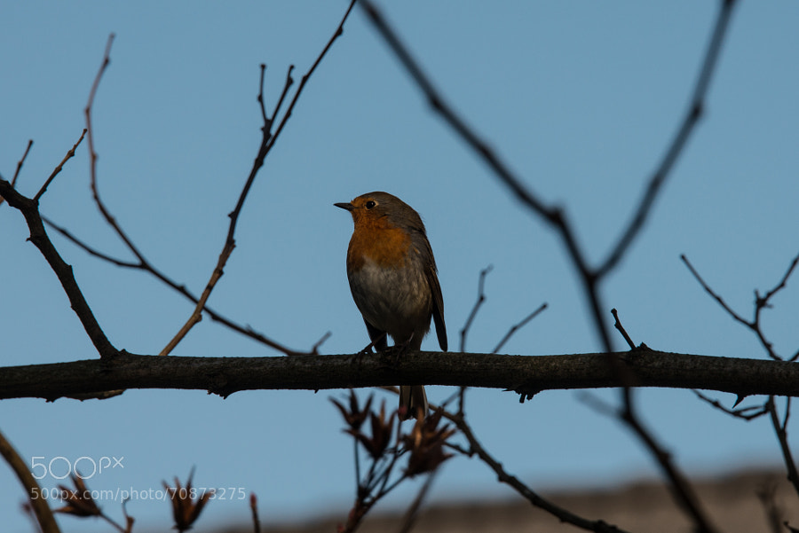 Robin, Rotkehlchen, Hamburg - germany