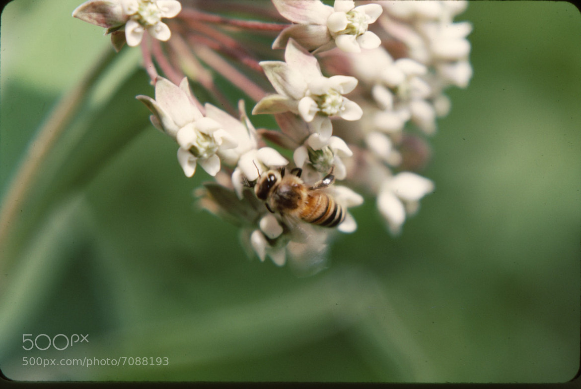 Photograph Honey Bee by Jim Pirie on 500px