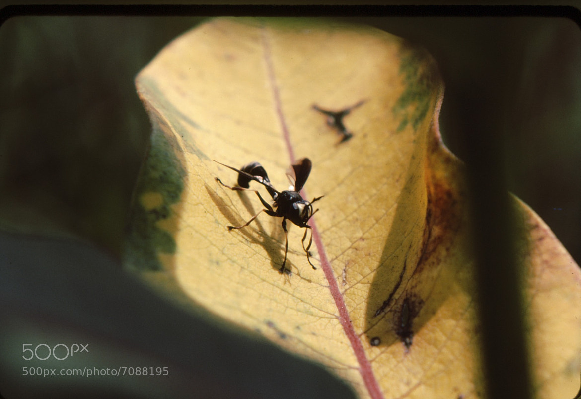 Photograph Wasp on Leaf by Jim Pirie on 500px