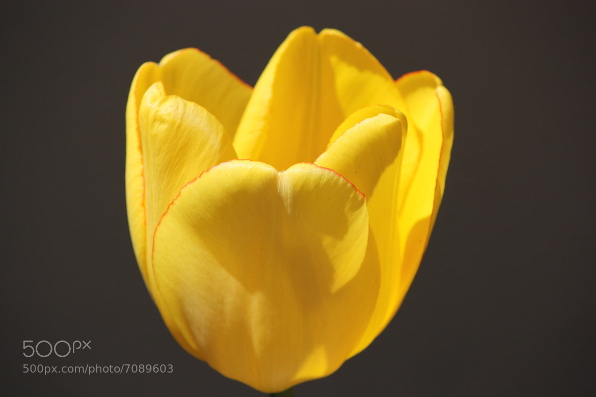 Photograph Yellow Tulip by Melisa Yavuz on 500px