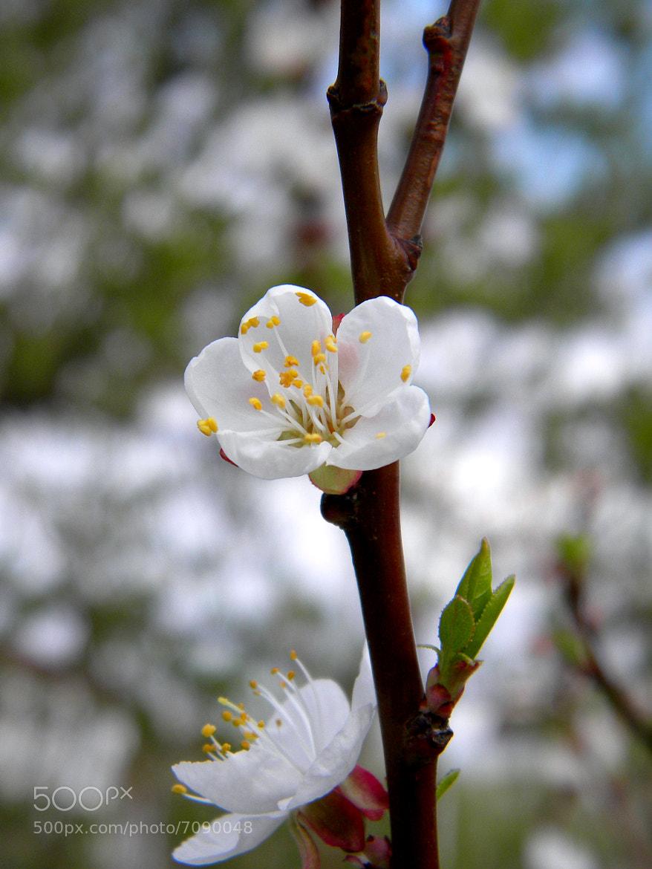 Photograph April flower by Veronika Voron on 500px
