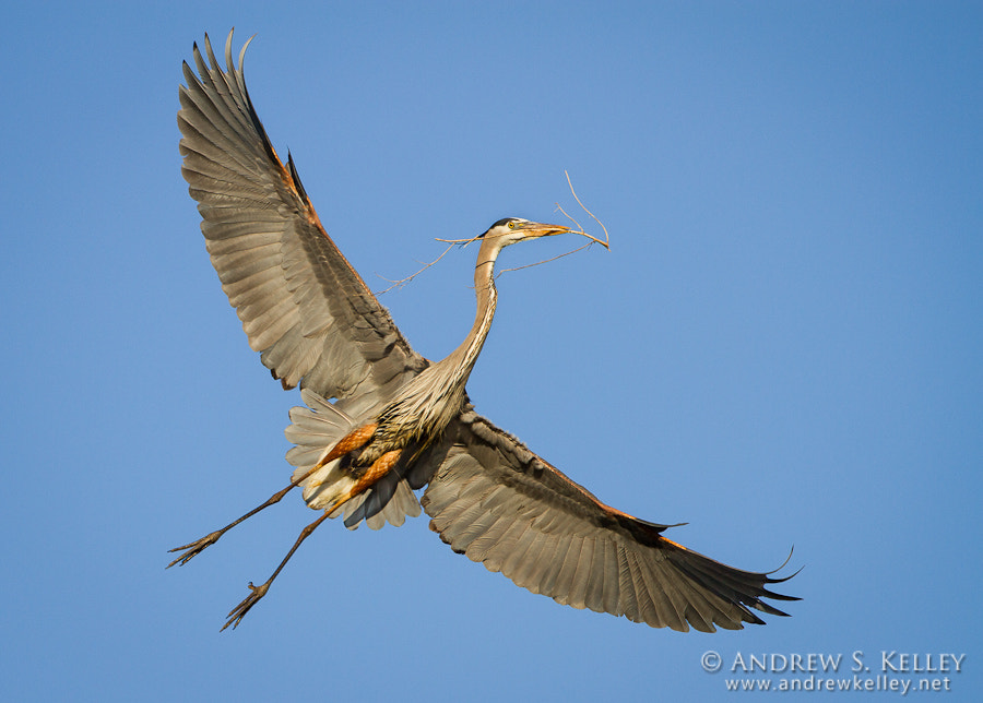 Photograph Heron by Andrew Kelley on 500px