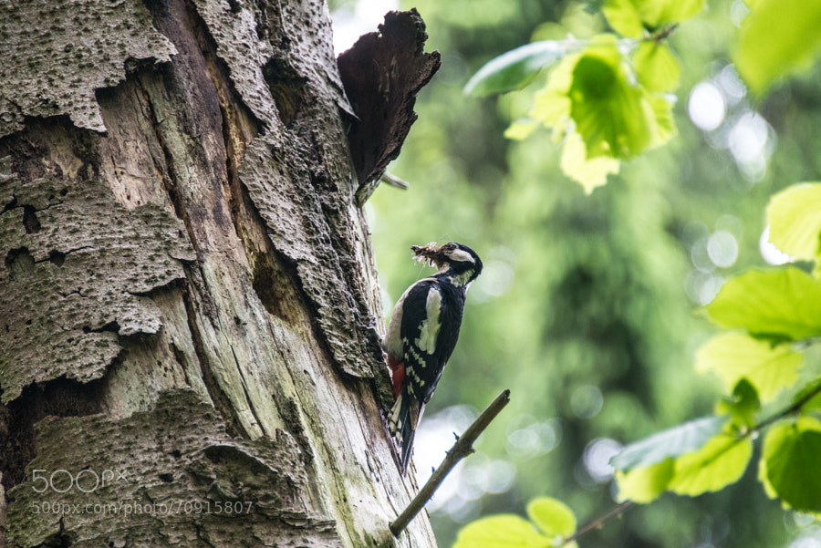 Woodpecker seen in Hamburg, germany