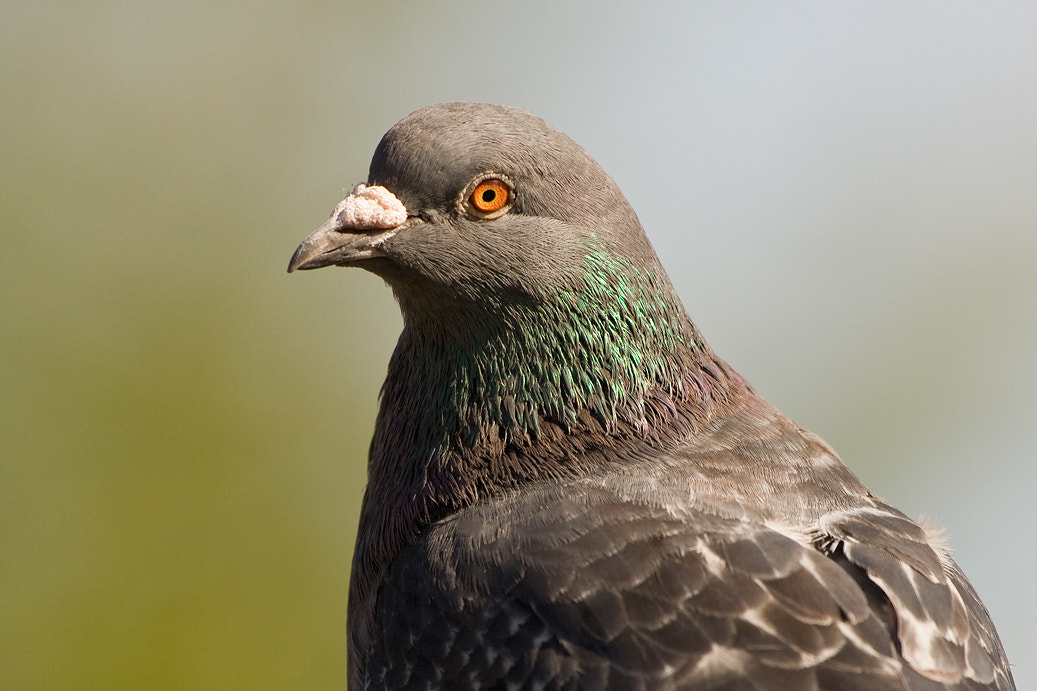 Photograph Humble pigeon. by Ian Rolfe on 500px