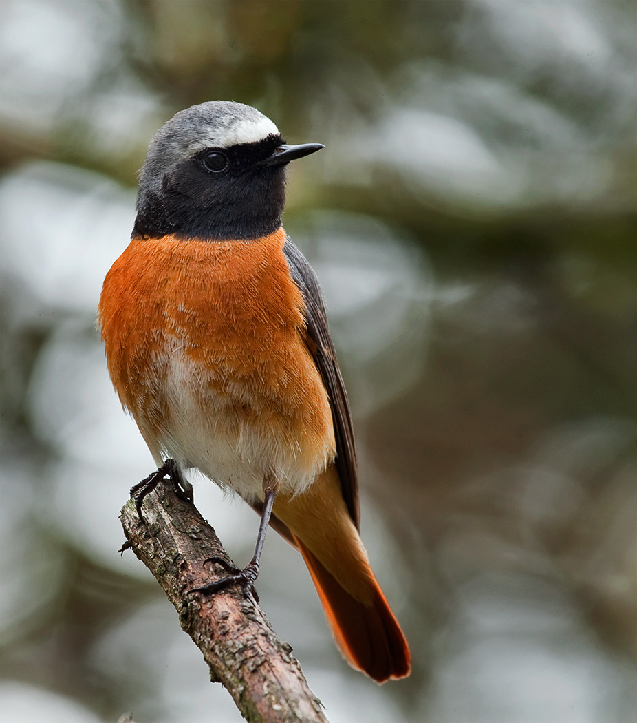 Photograph redstart by Phil Horton on 500px
