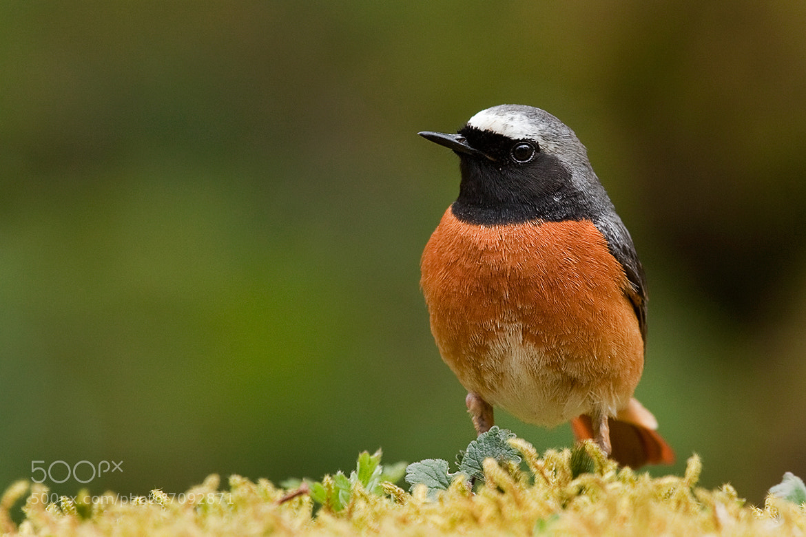 Photograph redstart 1 by Phil Horton on 500px