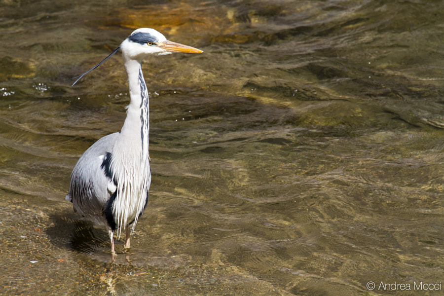 Grey Heron (Ardea cinerea) by Andrea Mocci on 500px.com