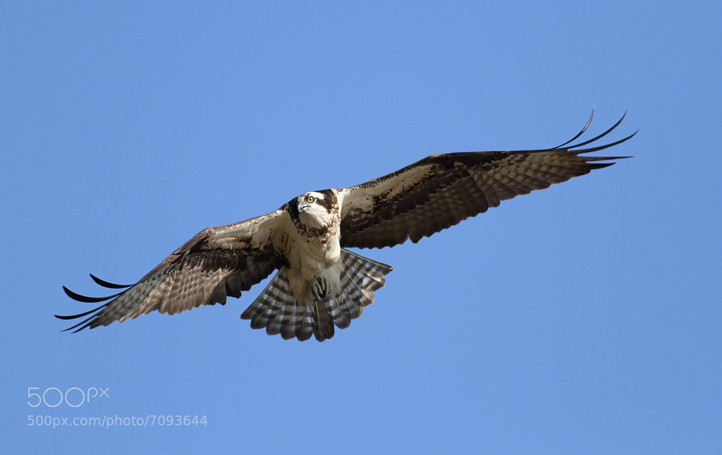 Photograph osprey in the sky by H Singh on 500px