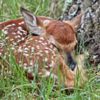 Spotted this recently born (probably earlier today) whitetail fawn by the side of the road. Mom was nearby! It was our lucky day: were the ONLY ones in the Sandhill Wildlife Preserve.