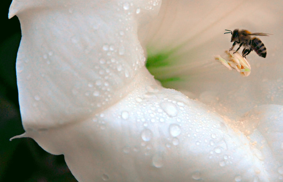 Bee on an Angel Trumpet