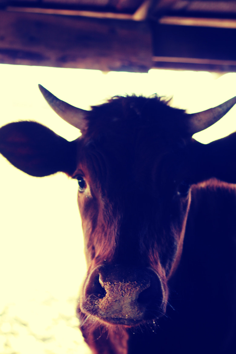 Photograph Cow 2 by Brian  Willoughby on 500px