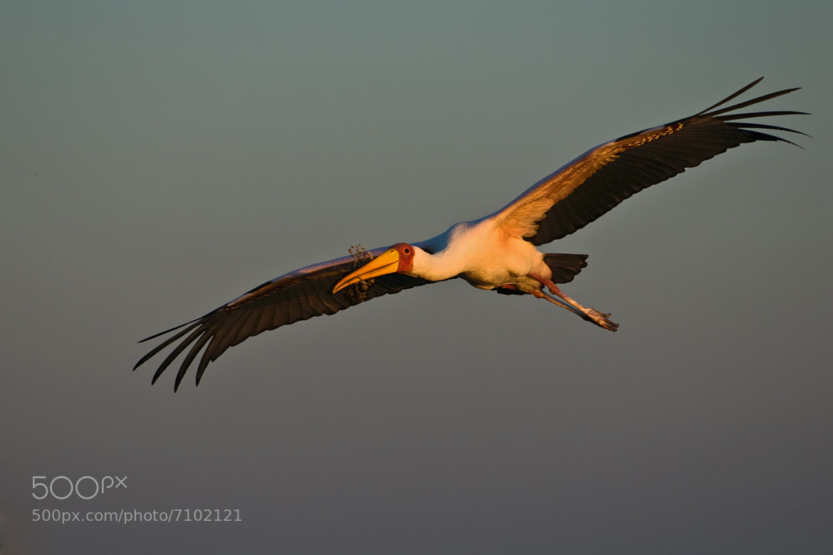 Photograph Yellow-billed Stork returning home by Marc MOL on 500px