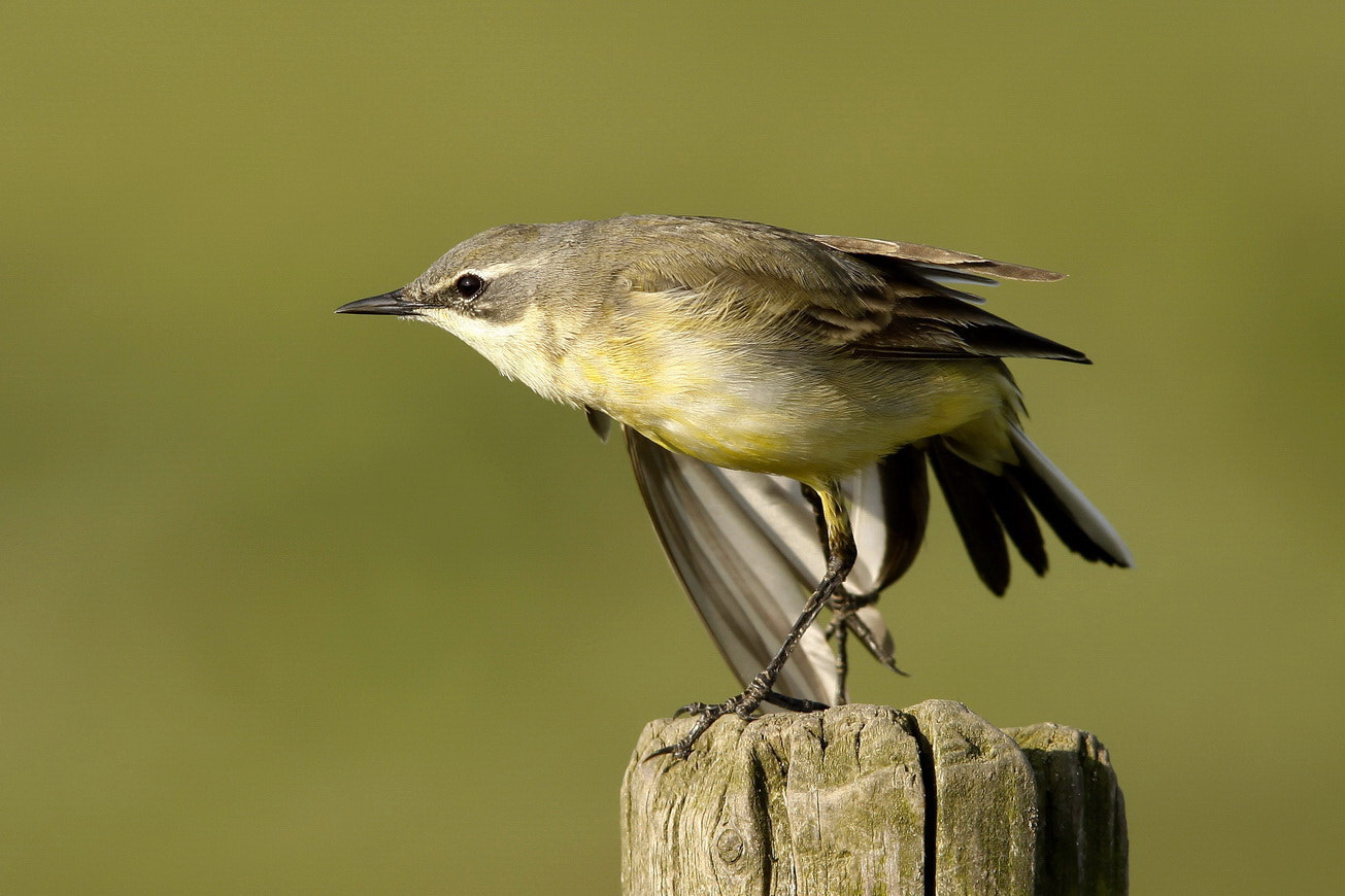 Photograph Yellow Wagtail by pieterbj van den berg on 500px
