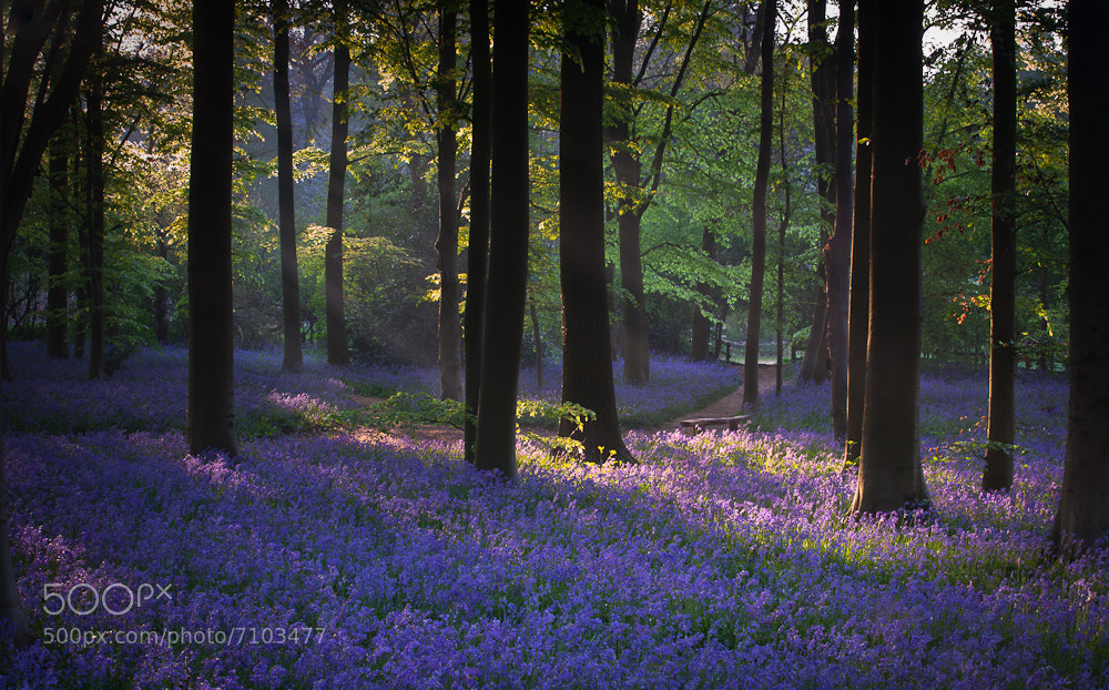Photograph Bluebells in Beechwood by Keith Burtonwood on 500px