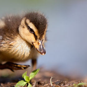 Duck by Stefano Ronchi (RonchiStefano)) on 500px.com