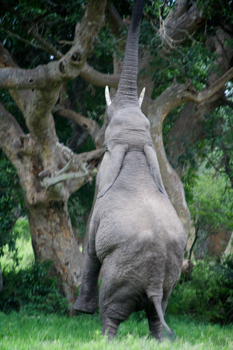 Photograph Walking Elephant by David Doig on 500px