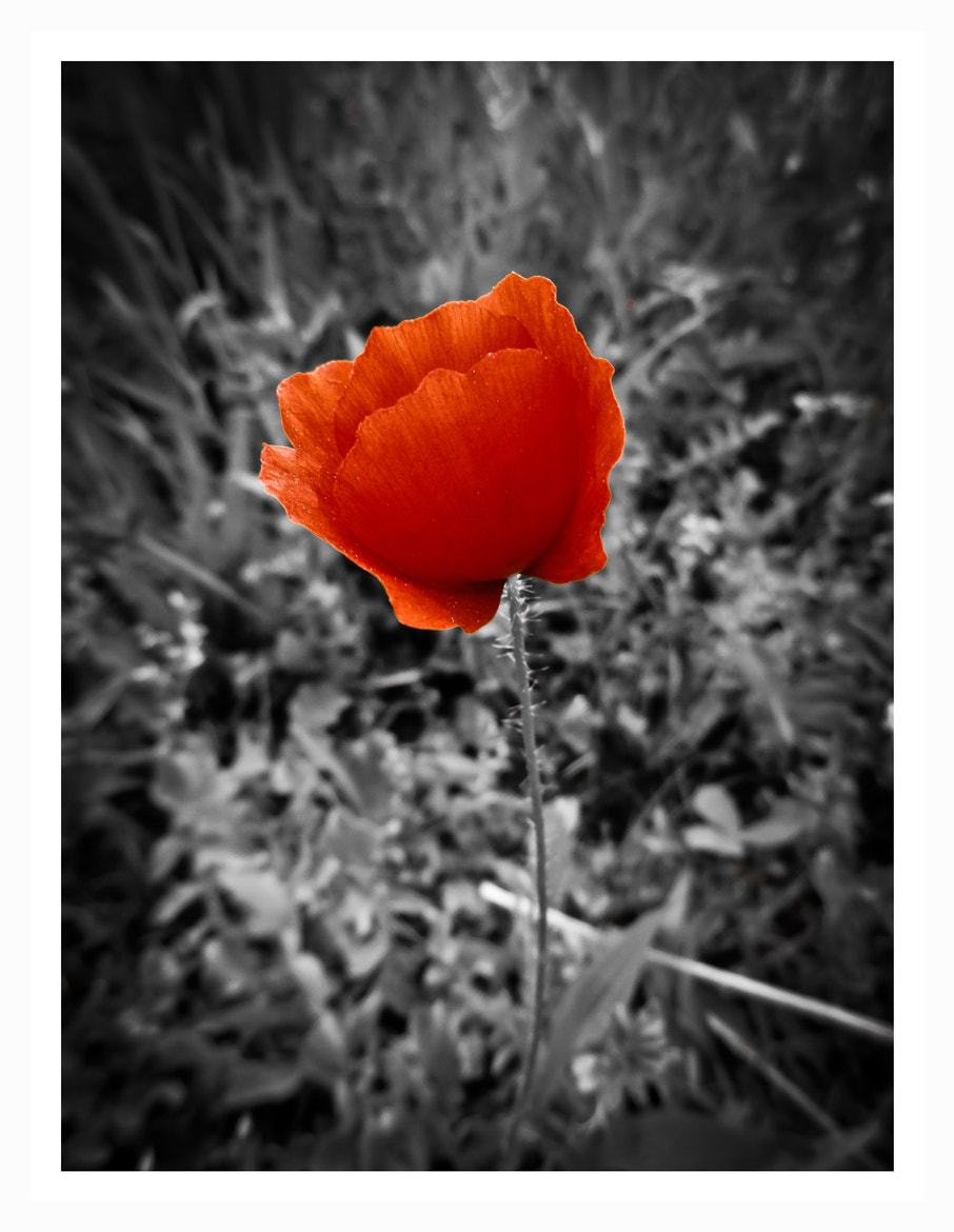 Photograph simple coquelicot by Eric Vermeil on 500px