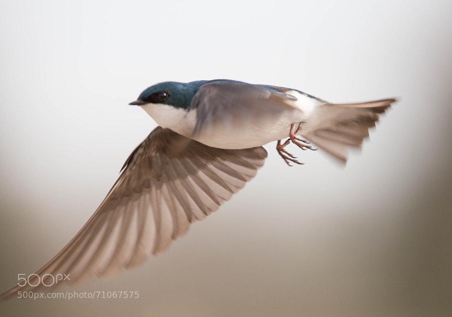 A tree swallow in  flight
