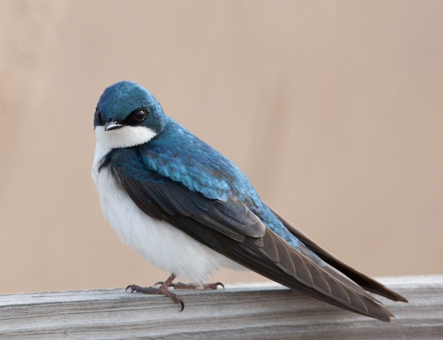 A tree swallow looking at the photographer