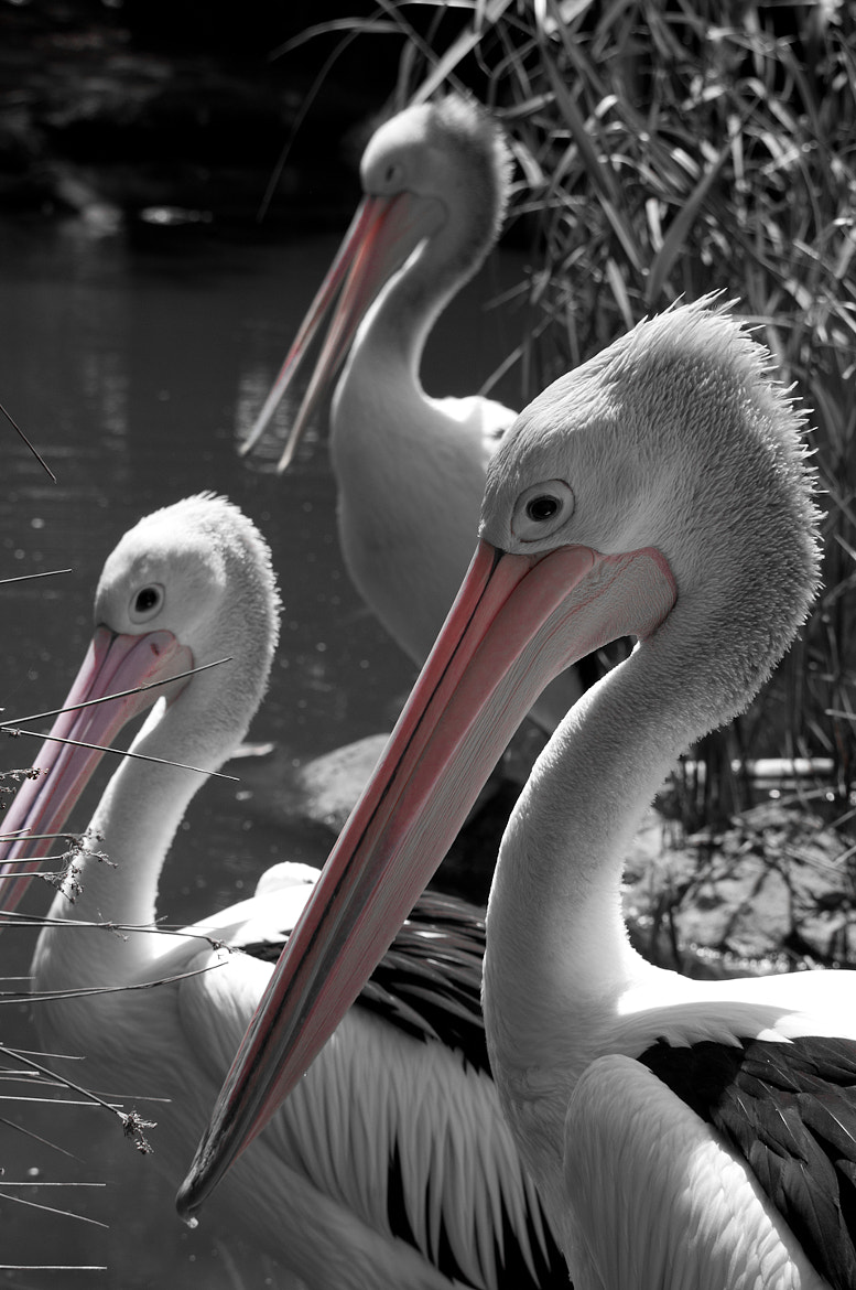 Photograph The Pelican Brief by Jason Hines on 500px