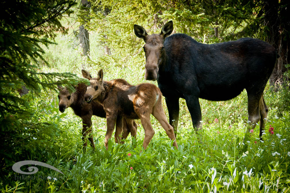 Photograph Moose Family by Corey Burk on 500px