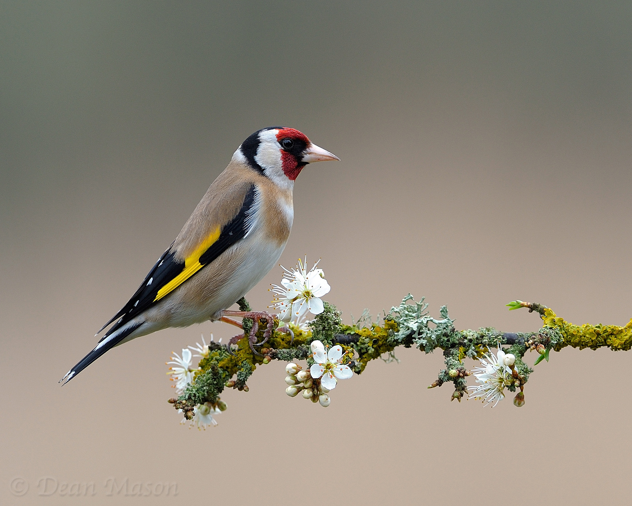 Photograph Goldfinch on Sloe Blossom II by Dean Mason on 500px