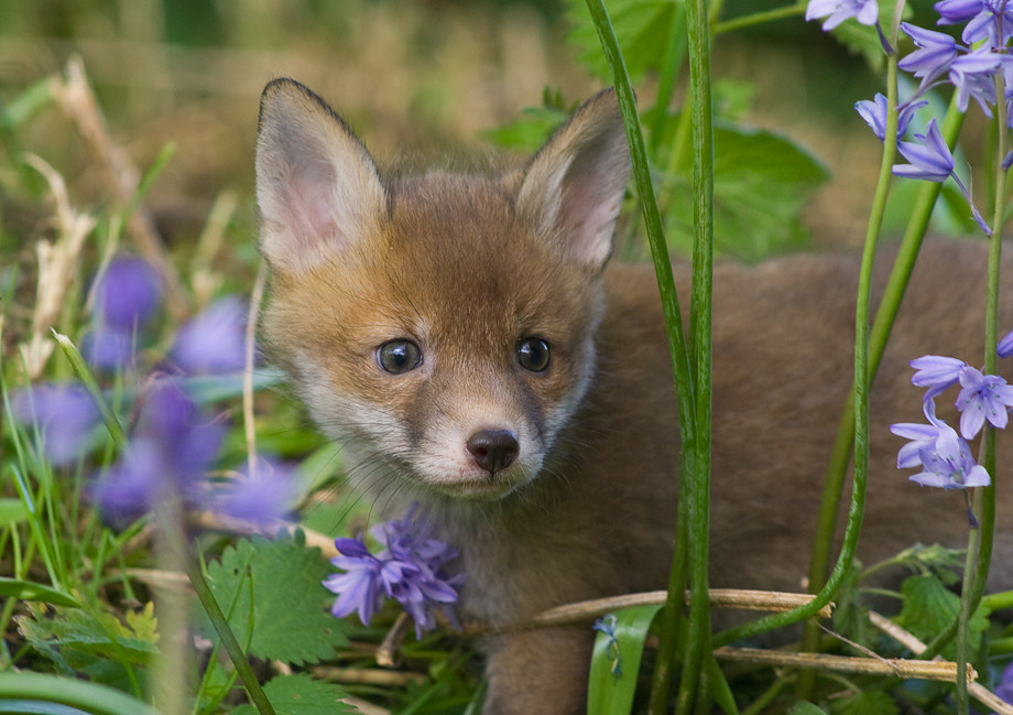 Photograph Fox cub by Ian Rolfe on 500px