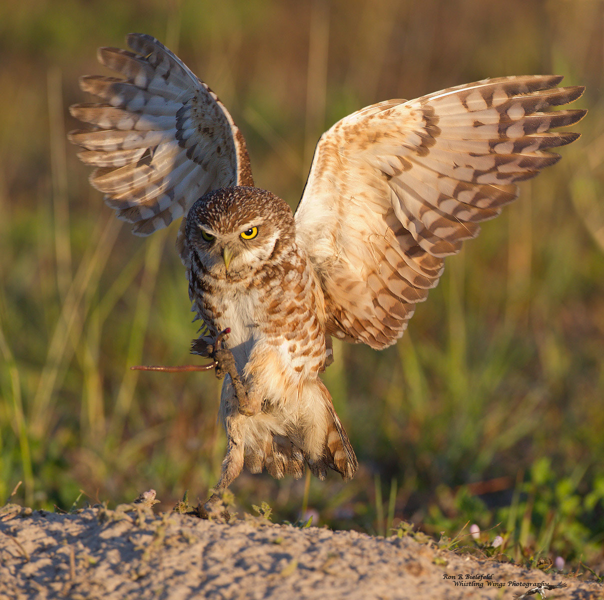 Photograph Burrowing Owl Touch down by Ron Bielefeld on 500px