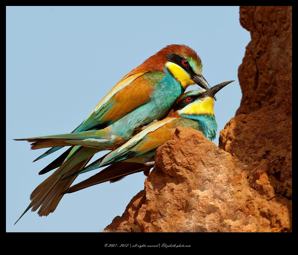 Photograph Mating Bee - Eaters  by Elizabeth  E. on 500px