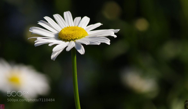 Photograph Daisy by Tin Phan on 500px