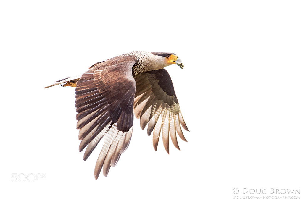Photograph Crested Caracara by Doug Brown on 500px