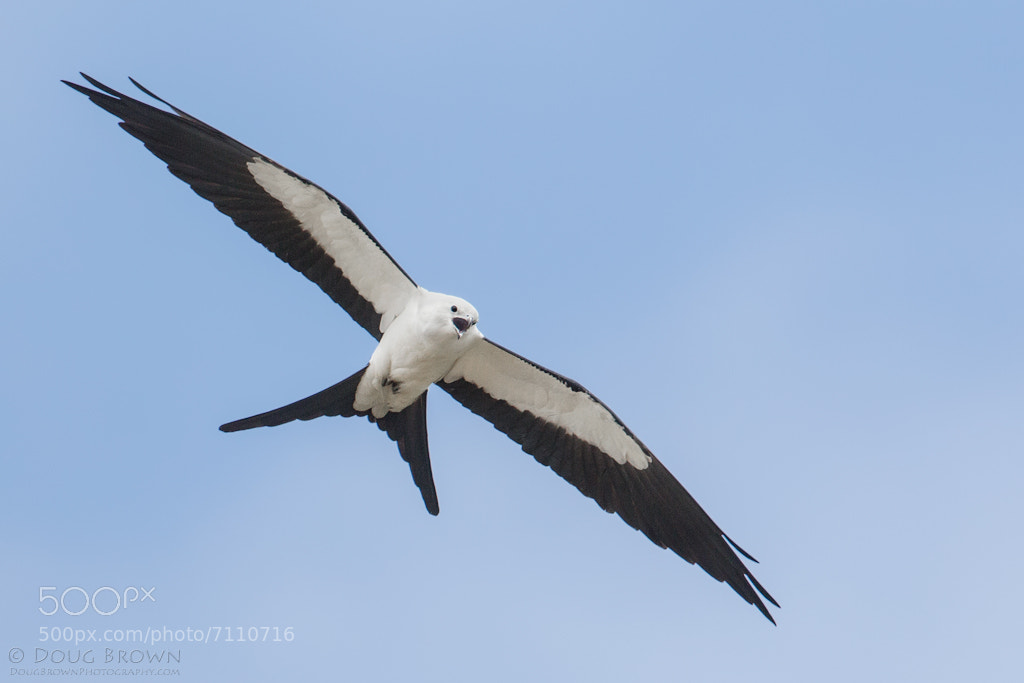 Photograph Swallow-tailed Kite by Doug Brown on 500px