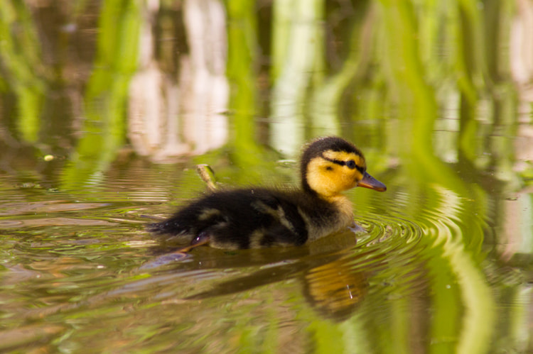 Photograph Duckling by Naomi Turner on 500px