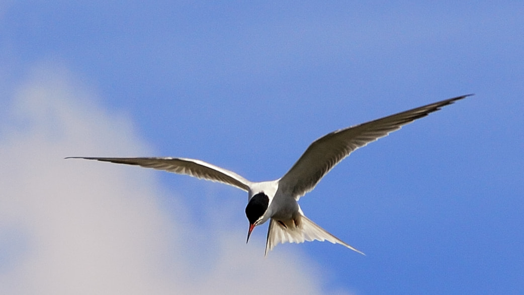 Photograph Arctic Tern by Andy Hayter on 500px