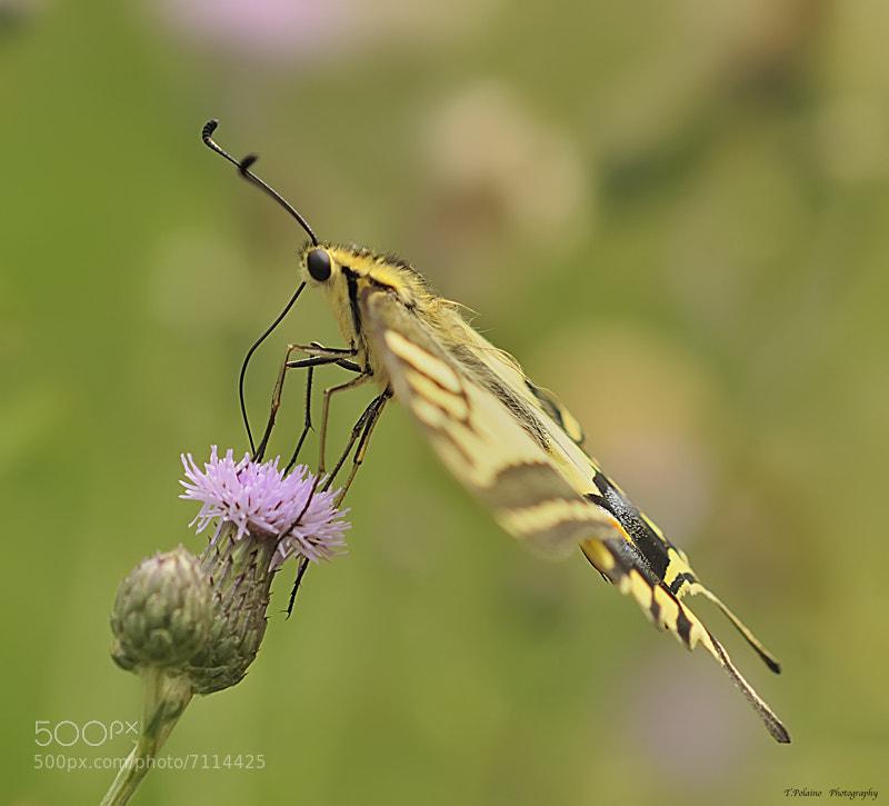 Photograph Macaon Papilio libando, perspectivas by Tomas Polaino Artiaga on 500px