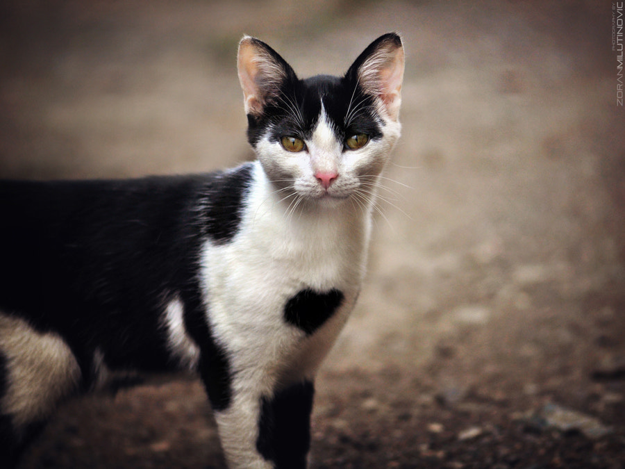 Photograph Cat with a big heart by Zoran Milutinovic on 500px