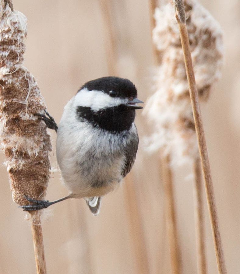 Chickadee on a willow reed