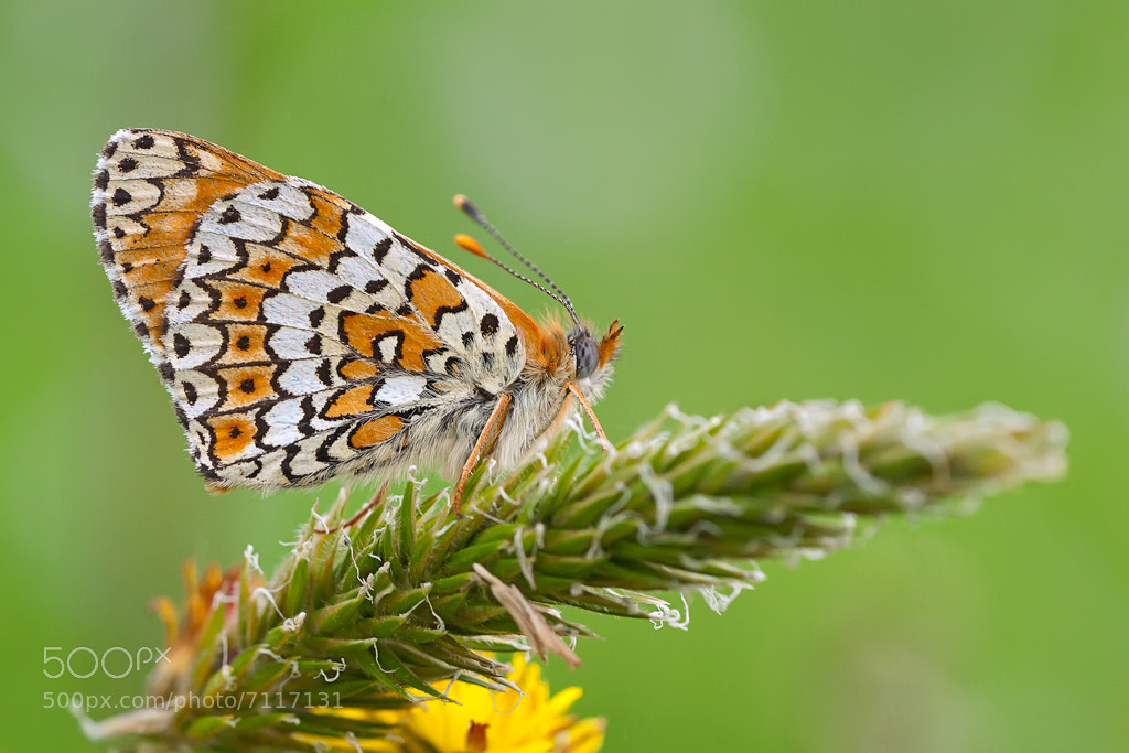 Photograph Melitaea didyma by Piero Imperiale on 500px