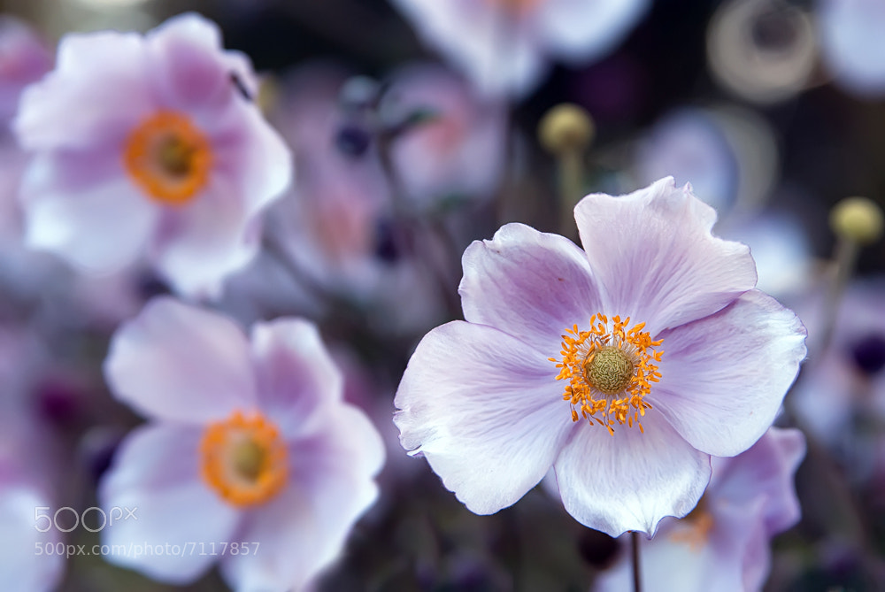 Photograph Flower Bokeh by Markus Reugels on 500px