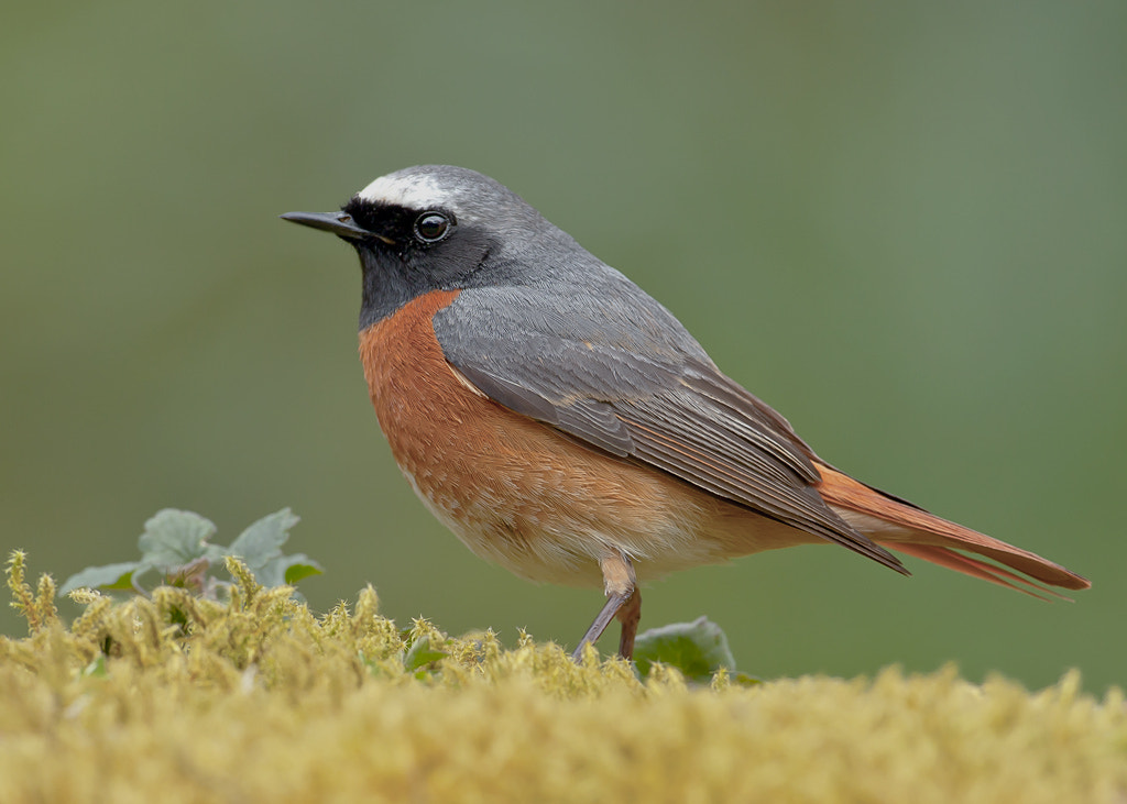 Photograph Commom Redstart by TomMelton on 500px